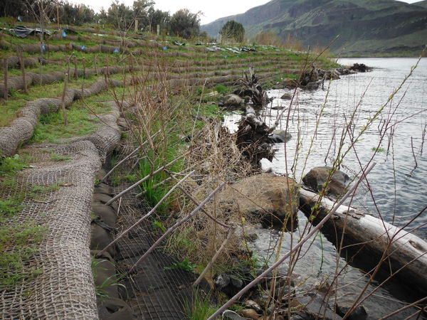 Shoreline mitigation at planting